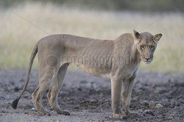 Very skinny lioness - Desert Kalahari central Botswana