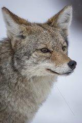 Portrait of Coyote in winter - Yellowstone USA