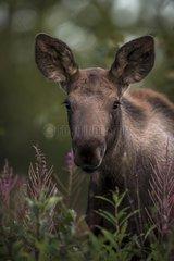 Portrait of young Moose - Alaska USA