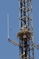 White stork nest on a mobile phone antenna in Catalonia