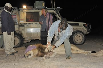 Capture of a Lion to change its radio collar Namibia