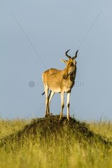 Coke's hartebeest male on a mound - Masai Mara Kenya