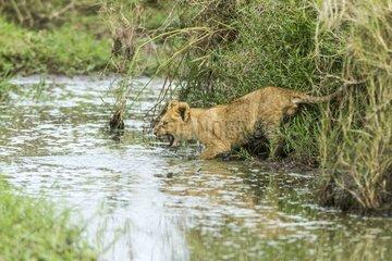 Lion cub jumping in water - Masai Mara Kenya