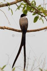 Fork-tailed Flycatcher on a branch Pantanal Brazil