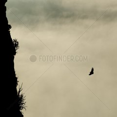 Eurasian Griffon Vulture flight in mist Rock Caire France
