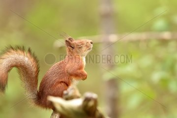 Red squirrel eyes closed on a branch - Finland