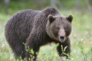 Brown bear stopped in a clearing - Finland