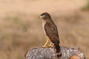 Sharp-shinned Hawk on a branch Pantanal Brazil