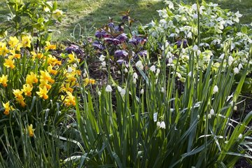 Spring snowflakes and narcissus in bloom in a garden