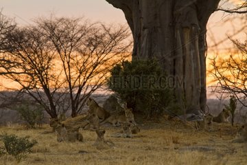 Kipunji Pride relaxing under a baobab before getting active