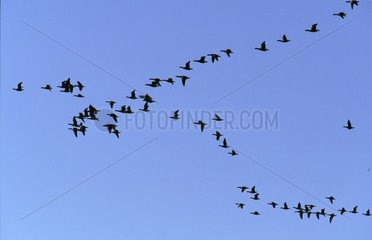 Formation flight of Pale-bellied Brent Grooses Normandy