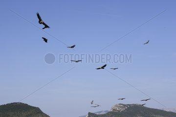 Eurasian Griffon Vultures flight Rock Caire Remuzat France