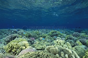 Coral reef of hard corals lush and diverse