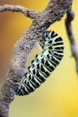 Beginning of nymphosis of Swallowtail caterpillar Italia