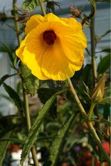 Yellow flower of Hibiscus Castle of Gaujacq Landes