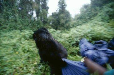 Gorille mâle dos argenté traînant un touriste