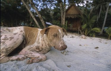 Dogs laid down on the sand of a beach inhabitant of Thailand
