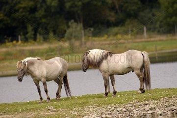 Tarpans in Saintes Croix Park Lorraine France
