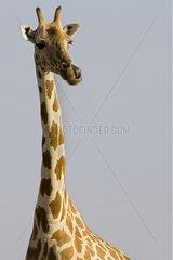 Nigearian Giraffe licking Niger