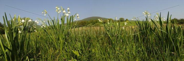 Summer Snowflake flowers - Vosges France