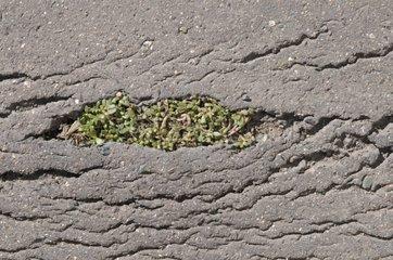 Succulent plant growing in the asphalt on the sidewalk
