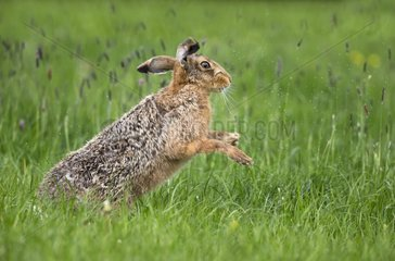 Brown Hare snorting in a meadow at spring - GB