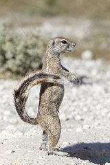 South African Ground Squirrel attentive Etosha Namibia