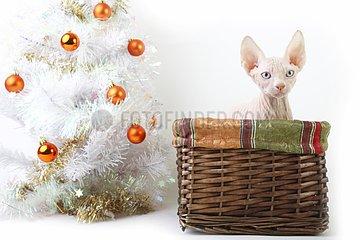 Sphynx kitten 'red dot' in a wicker basket at Christmas