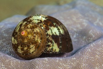 Turbo Shell in reef Indonesia