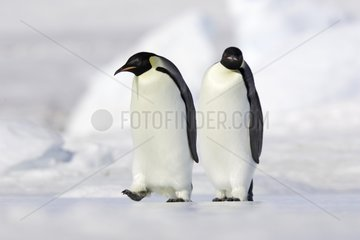Young Emperor penguins walking on the ice Antarctica