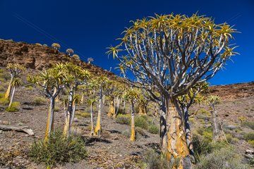 Quiver trees Kokerboom Forest Namaqualand RSA