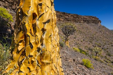Quiver tree Kokerboom Forest Namaqualand RSA