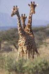 Giraffes in the savanna Africa