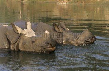 Indian rhinoceroses in water Chitwan NP Nepal