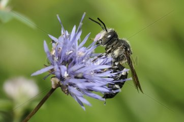 Blunt-tailed Coelioxys on Sheep's-bit flower-Northern Vosges