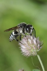 Blunt-tailed Coelioxys on Clover flower - Northern Vosges
