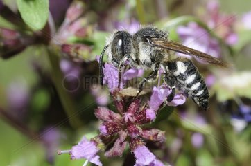 Blunt-tailed Coelioxys on flower - Northern Vosges
