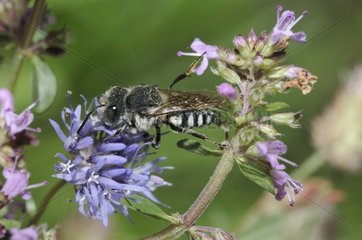 Blunt-tailed Coelioxys on Wild Thyme flower -Northern Vosges