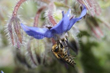 Cuckoo bee on Borage flower - Northern Vosges France