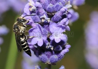 Cuckoo bee on purple flower - Northern Vosges France