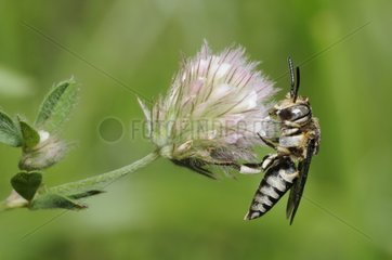 Cuckoo bee on Clover flower - Northern Vosges France