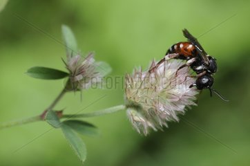 Parasitic bee on flower Clover - Northern Vosges France