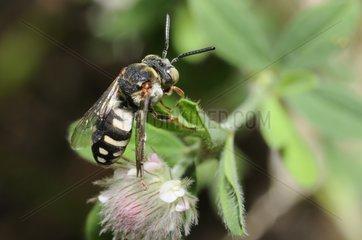 Black-thighed Epeolus on flower Clover - Northern Vosges