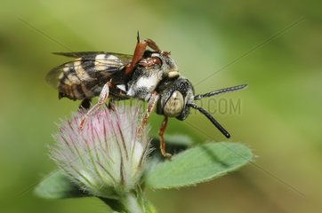 Cuckoo bee on flower Hare's-foot Clover - Northern Vosges