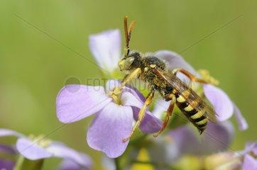 Cucko bee on sand rock cress - Northern Vosges