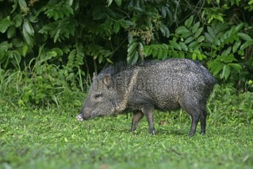 Collared peccary in grass Belize