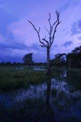 Dead tree at Yellow Waters marshes at dusk Kakadu Australia