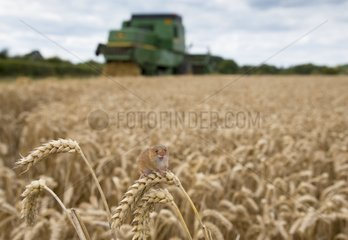 Harvest Mouse on wheat in summer - GB
