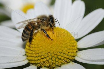Honeybee on Daisy flower - Northern Vosges