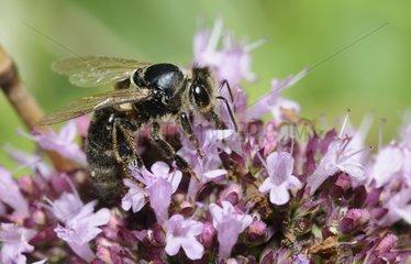 Carniolan honeybee on Oregano flowers - Northern Vosges